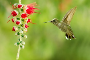 Hummingbird (archilochus colubris) in flight with tropical flower over green background